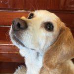 ビーグル犬ー1