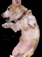 ビーグル犬の動くスタンプ8